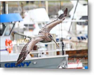 Brown Pelican . 7d8228 Metal Print by Wingsdomain Art and Photography