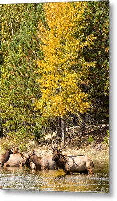 Bull Elk Watching Over Herd 3 Metal Print by James BO  Insogna