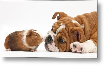 Bulldog Pup Face-to-face With Guinea Pig Metal Print by Mark Taylor