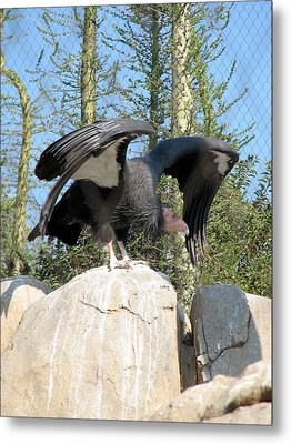 California Condor Metal Print by Carla Parris