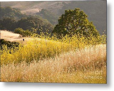 California Mustard Fields Metal Print by Matt Tilghman