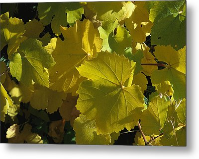 California Wild Grape Leaves Vitis Metal Print by Marc Moritsch