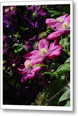 Metal Print featuring the photograph Cascading Rose by Frank Wickham