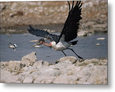 Catch-as-catch Can Is Etoshas Metal Print by Des &Amp Jen Bartlett