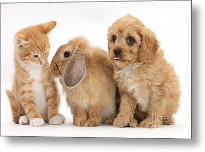Cavapoo Pup, Rabbit And Ginger Kitten Metal Print by Mark Taylor
