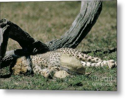 Cheetah Cub Sleeping And Guarding Hat Metal Print by Greg Dimijian