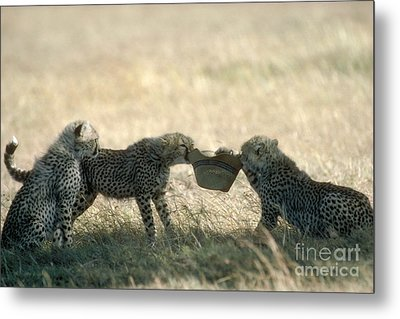 Cheetah Cubs Play With Hat Metal Print by Greg Dimijian