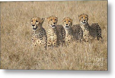 Cheetah Family Metal Print by Mareko Marciniak