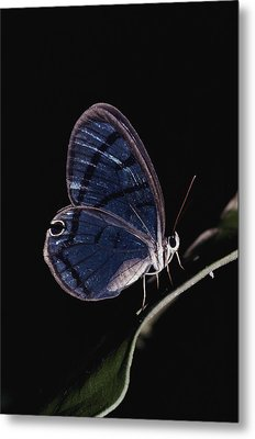 Close-up Of A Glassy-wing Butterfly Metal Print by Mattias Klum