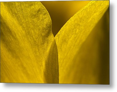 Close Up Of The Petals Of A Daffodil Metal Print by Todd Gipstein