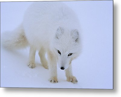 Close Up Portrait Of A White Arctic Metal Print by Norbert Rosing