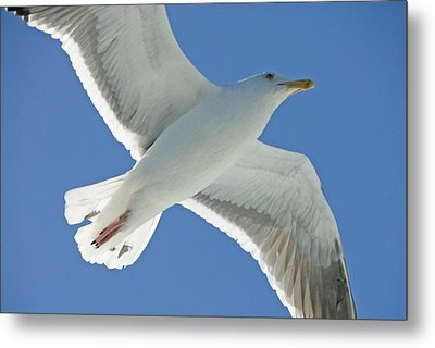 Close View Of A Flying Seagull Metal Print by Stephen Sharnoff