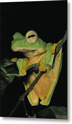 Close View Of A Wallaces Flying Frog Metal Print