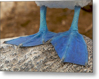 Close View Of The Feet Of A Blue-footed Metal Print by Tim Laman