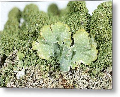 Common Greenshield Lichen Metal Print by Ted Kinsman