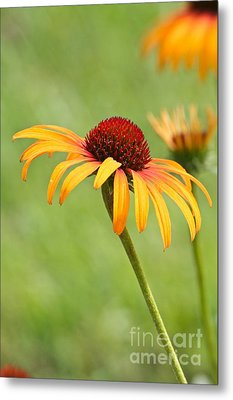 Metal Print featuring the photograph Coneflower by Eve Spring