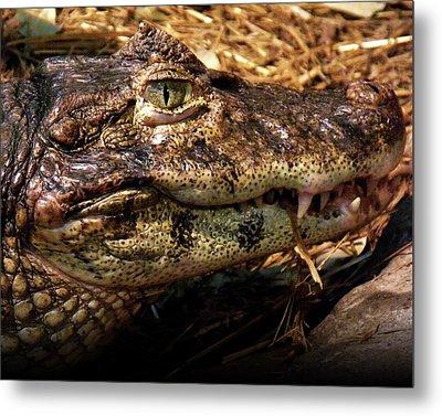 Crocodile Metal Print by Jeremy Martinson