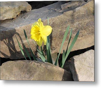 Daffodil On The Rocks Metal Print by Devon Stewart
