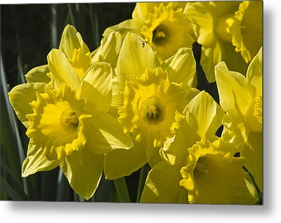Metal Print featuring the photograph Daffodils by Rob Hemphill
