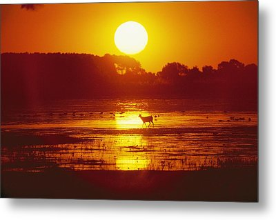 Distant Deer Silhouetted In A Marsh Metal Print by Amy White & Al Petteway