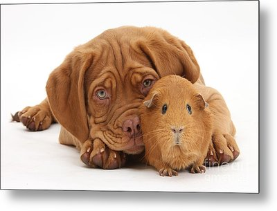 Dogue De Bordeaux Puppy With Red Guinea Metal Print by Mark Taylor
