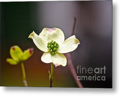 Metal Print featuring the photograph Dogwood by Eve Spring