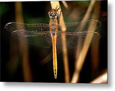 Metal Print featuring the photograph Dragon Fly 1 by Pedro Cardona