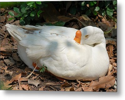 Metal Print featuring the photograph Duck Resting by Fotosas Photography