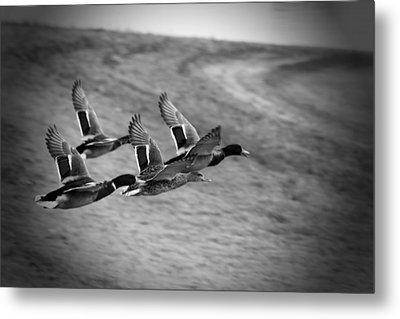 Ducks In Flight V2 Bw Metal Print by Douglas Barnard