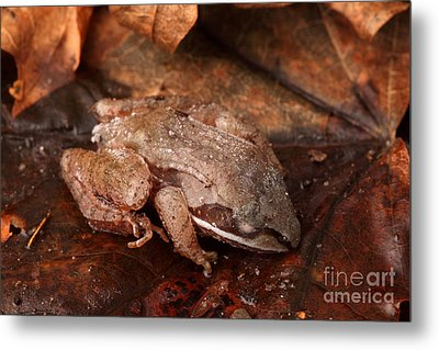 Eastern Wood Frog Hibernating Metal Print by Ted Kinsman