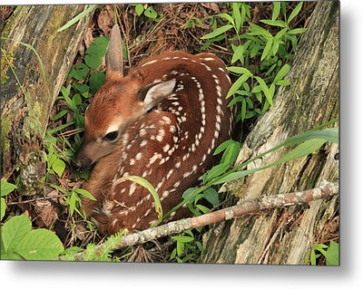 Metal Print featuring the photograph Fawn by Doug McPherson