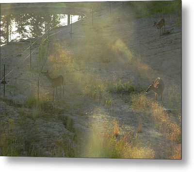 Metal Print featuring the photograph Feeding In Light Of Early Morning by Debbi Saccomanno Chan