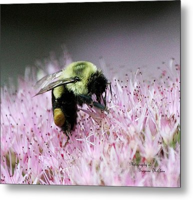 Female Worker Bumble Bee With Pollen Sack On Hen And Chick Plant Metal Print by Suzanne  McClain