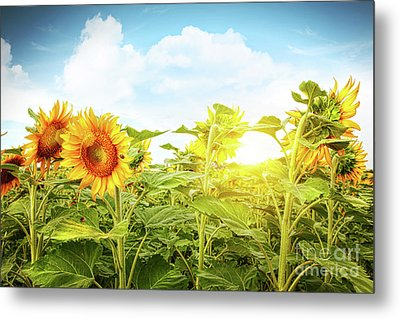 Field Of Colorful Sunflowers And Blue Sky  Metal Print by Sandra Cunningham