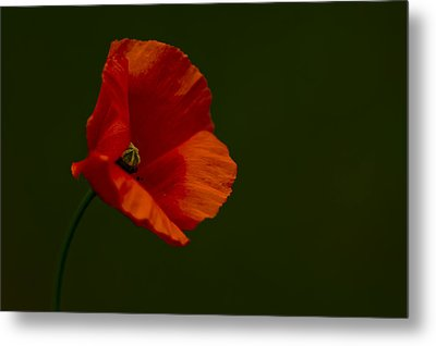 Metal Print featuring the photograph Field Poppy by Rob Hemphill