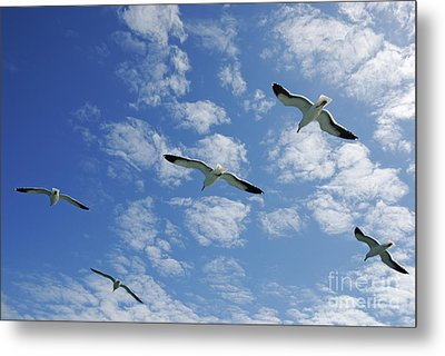 Flock Of Five Seagulls Flying In The Sky Metal Print by Sami Sarkis