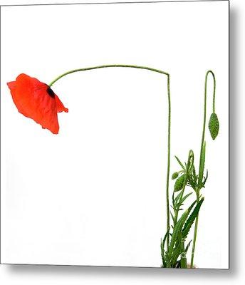 Flower Poppy In Studio. Papaver Rhoeas. Metal Print by Bernard Jaubert