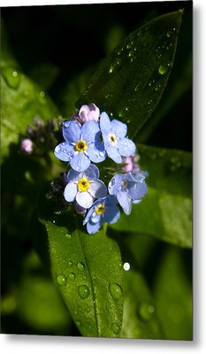 Forget Me Not Metal Print by Ralph A  Ledergerber-Photography
