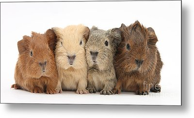 Four Baby Guinea Pigs Metal Print