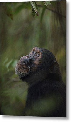 Freud, The Oldest Son Of Fifi Metal Print by Michael Nichols