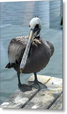 Friendly Pelican Metal Print by Carla Parris
