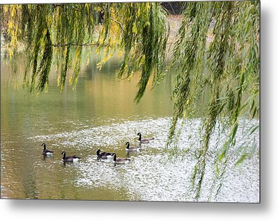 Geese In Central Park Metal Print by Stacy Gold