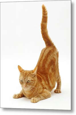 Ginger Cat Metal Print by Jane Burton
