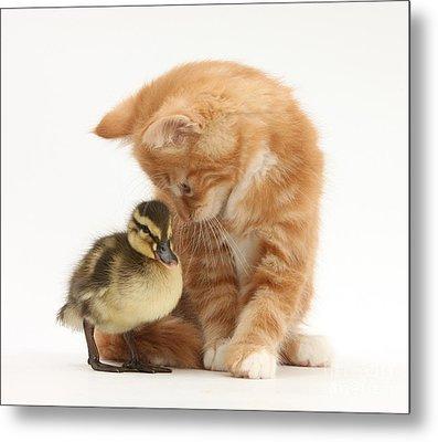 Ginger Kitten And Mallard Duckling Metal Print by Mark Taylor