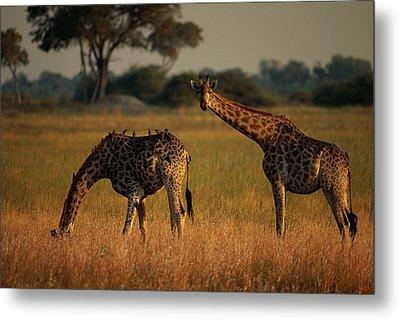Giraffes Graze On The African Plain Metal Print by Beverly Joubert