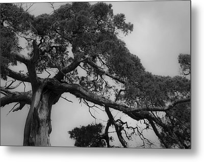 Gnarly Cedar Tree Metal Print by Teresa Mucha