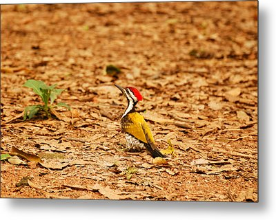 Metal Print featuring the photograph Golden Backed Woodpecker by Fotosas Photography