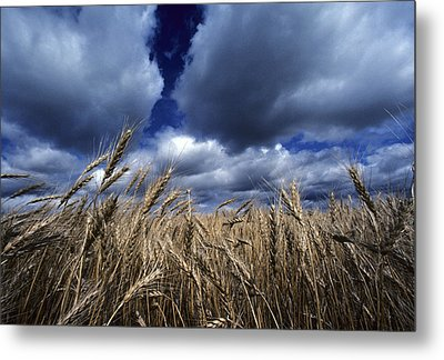Golden Heads Of Wheat In A Field Metal Print by Annie Griffiths