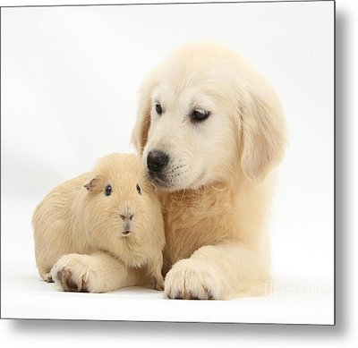 Golden Retriever Pup And Yellow Guinea Metal Print by Mark Taylor