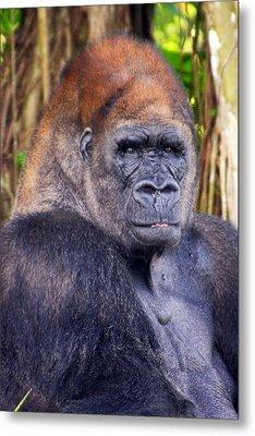 Gorilla Posing Metal Print by Joe Myeress